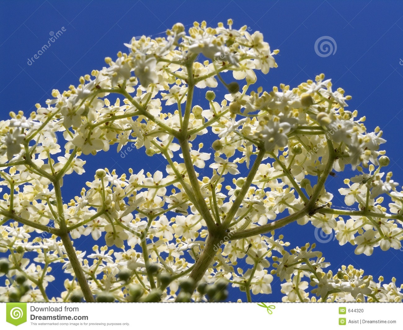 Download Sambucus nigra elderflower стоковое фото. изображение насчитывающей цветки - 644320