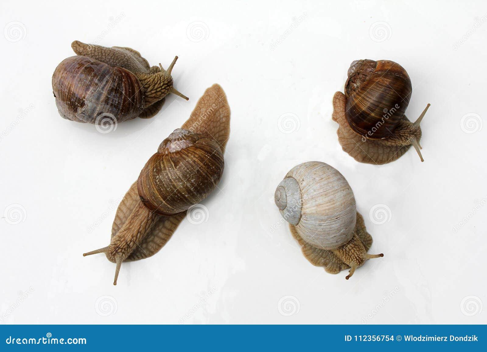 French Delicacies: Snails  Escargot De Bourgogne, Roman Snail Stock