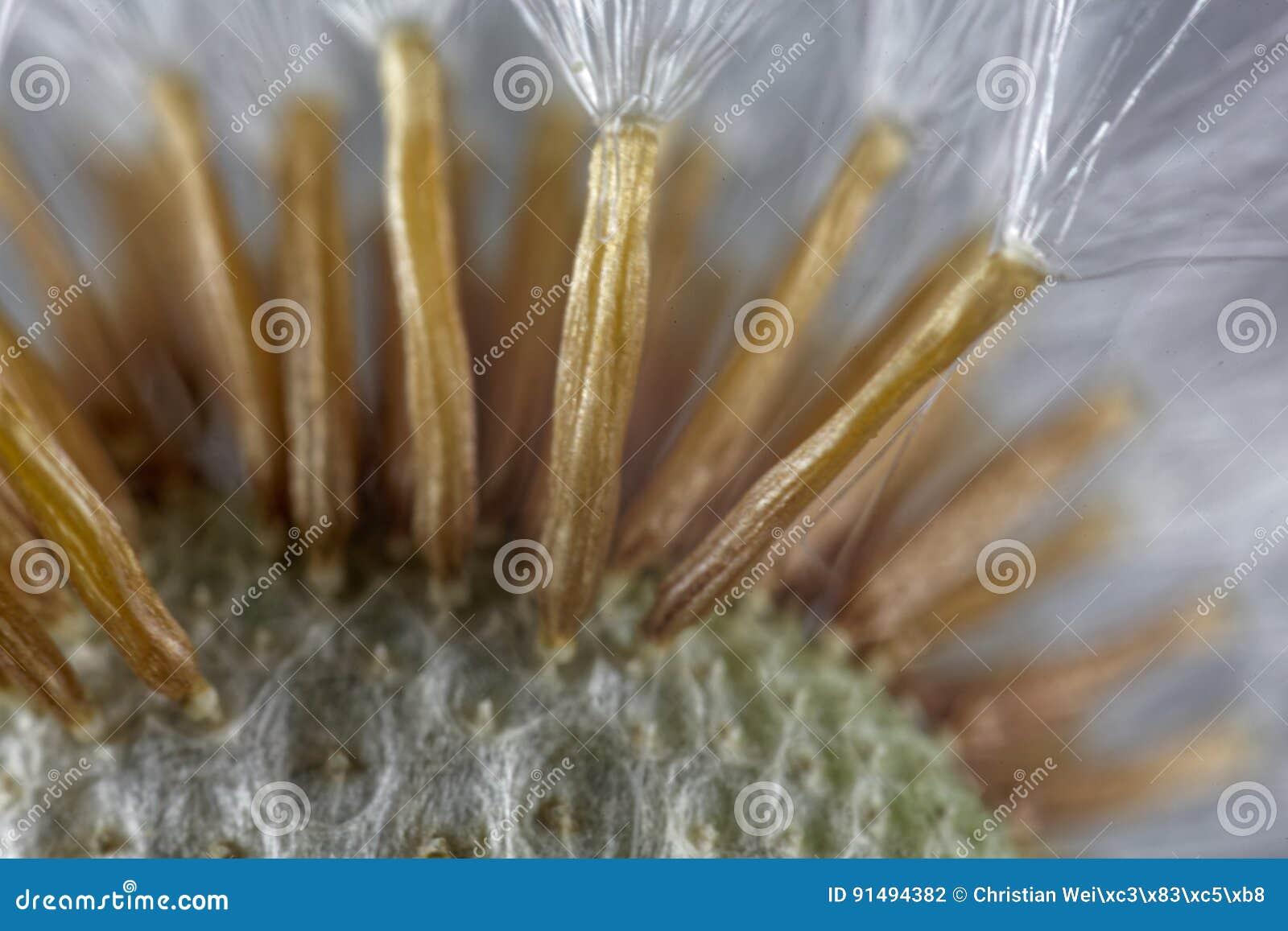 Samen eines coltsfoot blühen unter einem mikroskop stockfoto