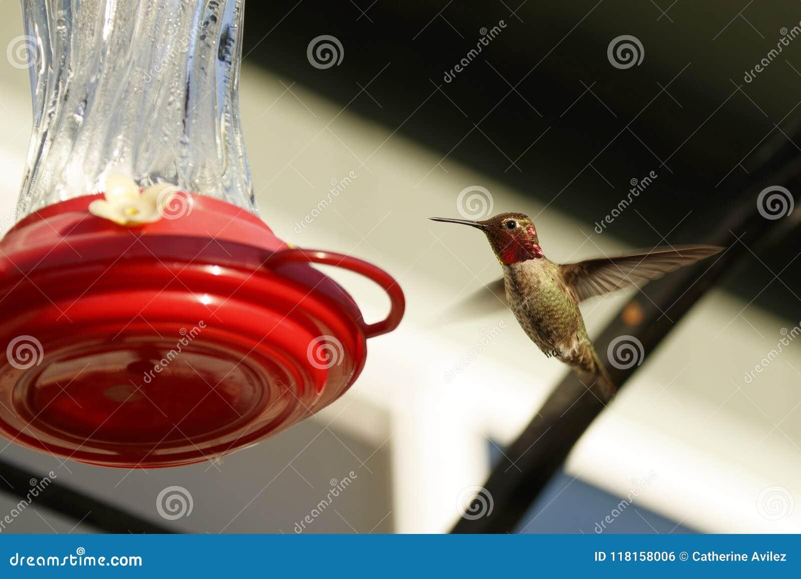 Samiec Anna ` s Hummingbird przy dozownikiem