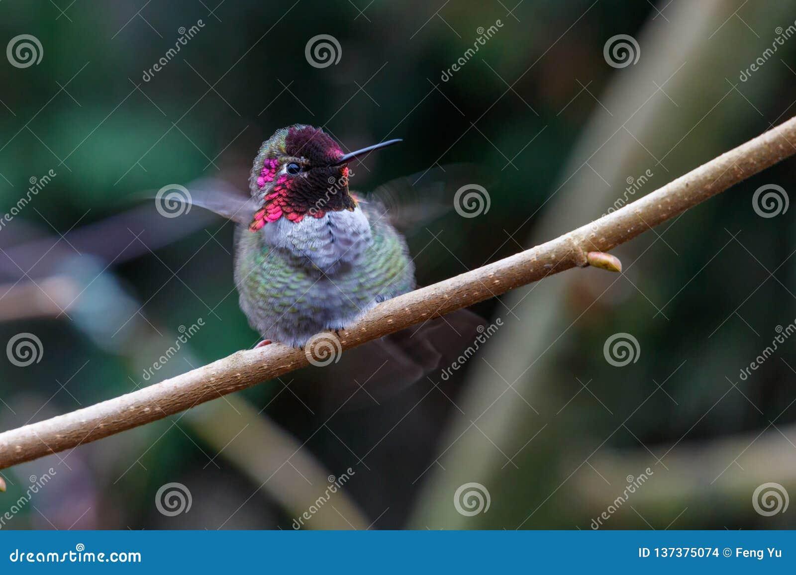 Samiec Annas Hummingbird