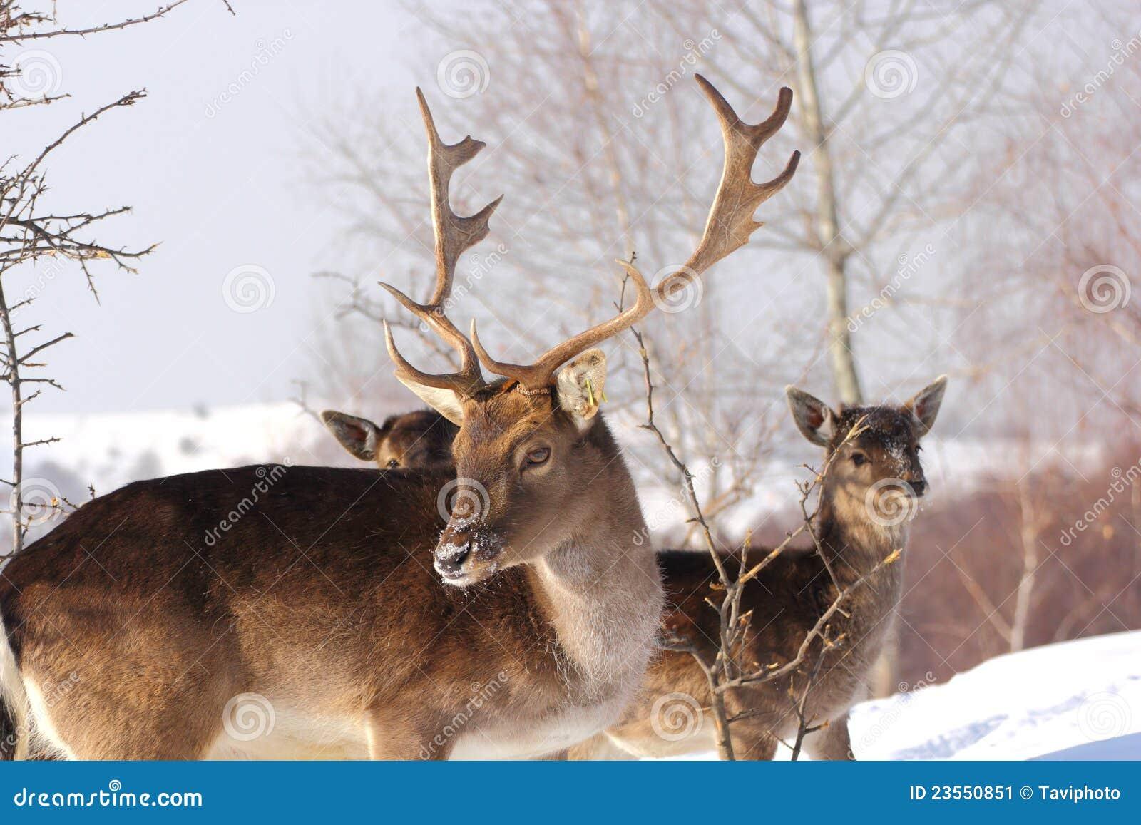 Samiec dzień jelenia ugorów zima