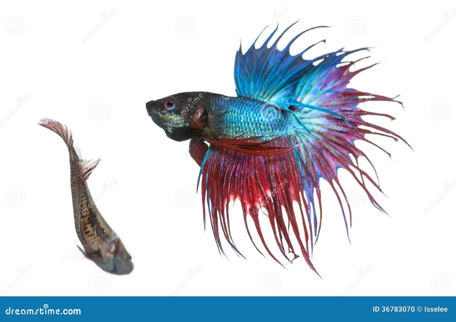 Samiec i żeńska Syjamska bój ryba w koperczaki tanczymy