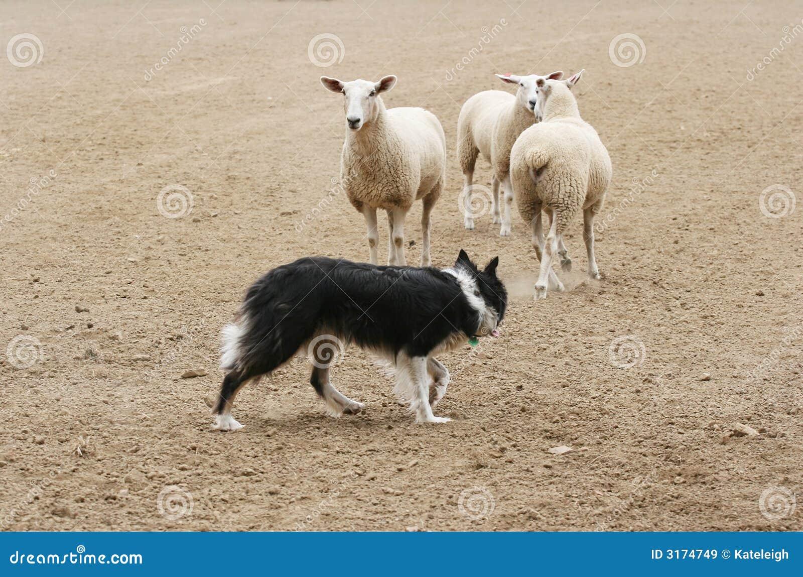 Samlas får