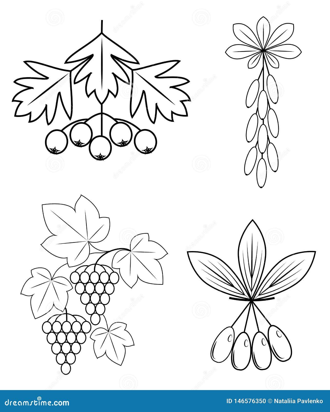 Samling Denna filial av barberryen, druvor, skogskornell, vinb?r L?ckra sunda b?r f?r h?lsa och medicin Grafisk bild