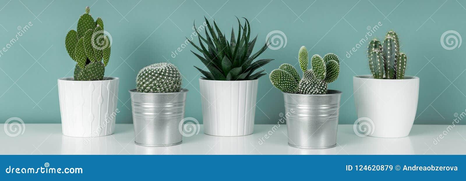 Samlingen av olika inlagda kaktushusväxter på den vita hyllan mot pastellfärgad turkos färgade väggen Kaktuns planterar banret