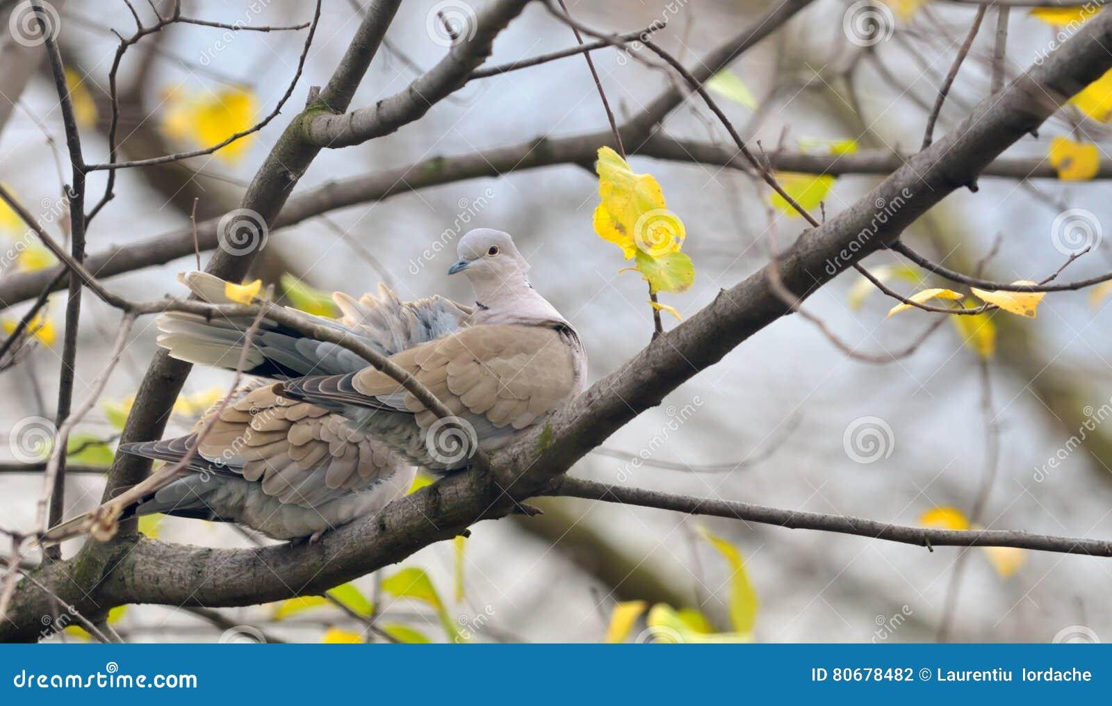 Sammanträde för duvaStreptopeliadecaocto på träd