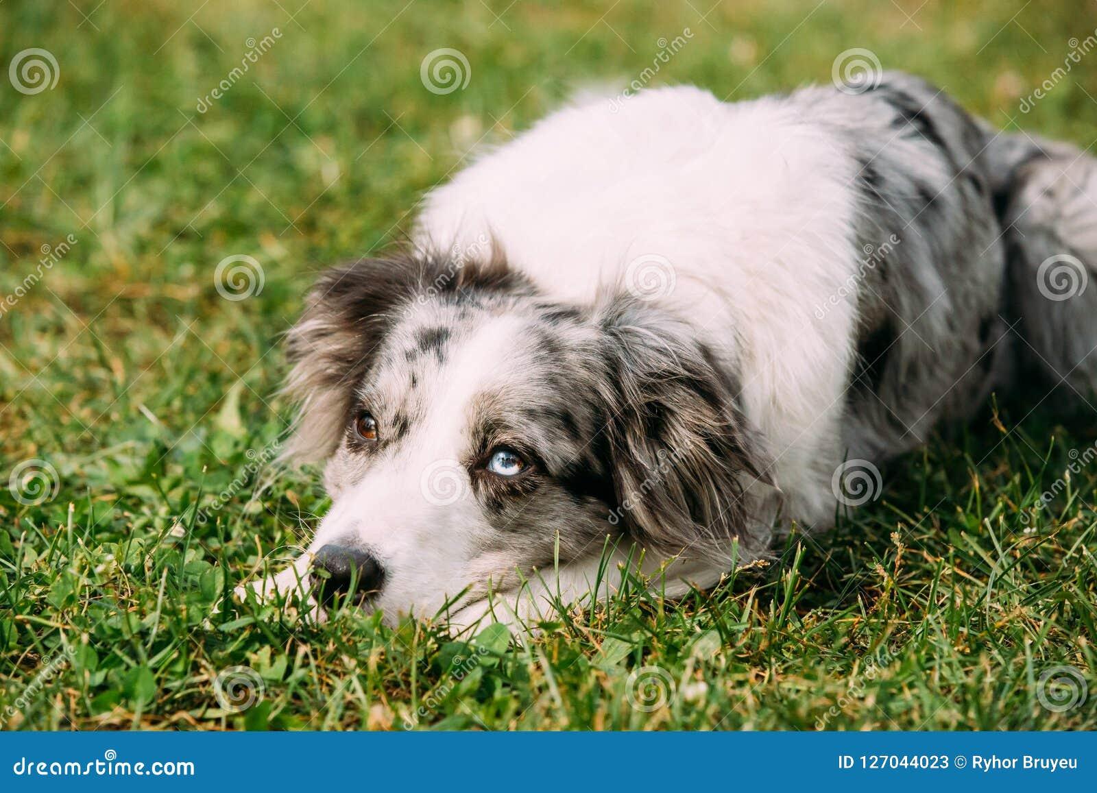 Sammanträde för gränsCollie Or Scottish Sheepdog Adult hund i gräsplan Gr