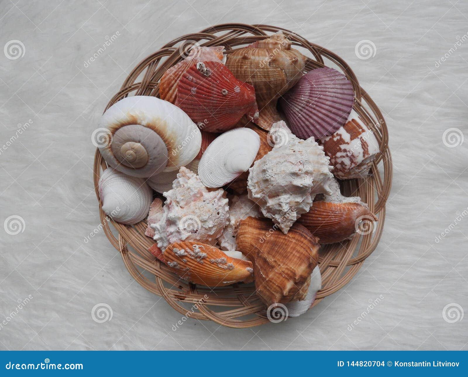 Sammlung verschiedenes Seetiere urcihn, Schnecke, Sanddollar, Oberteil, Krabbe auf Wei?
