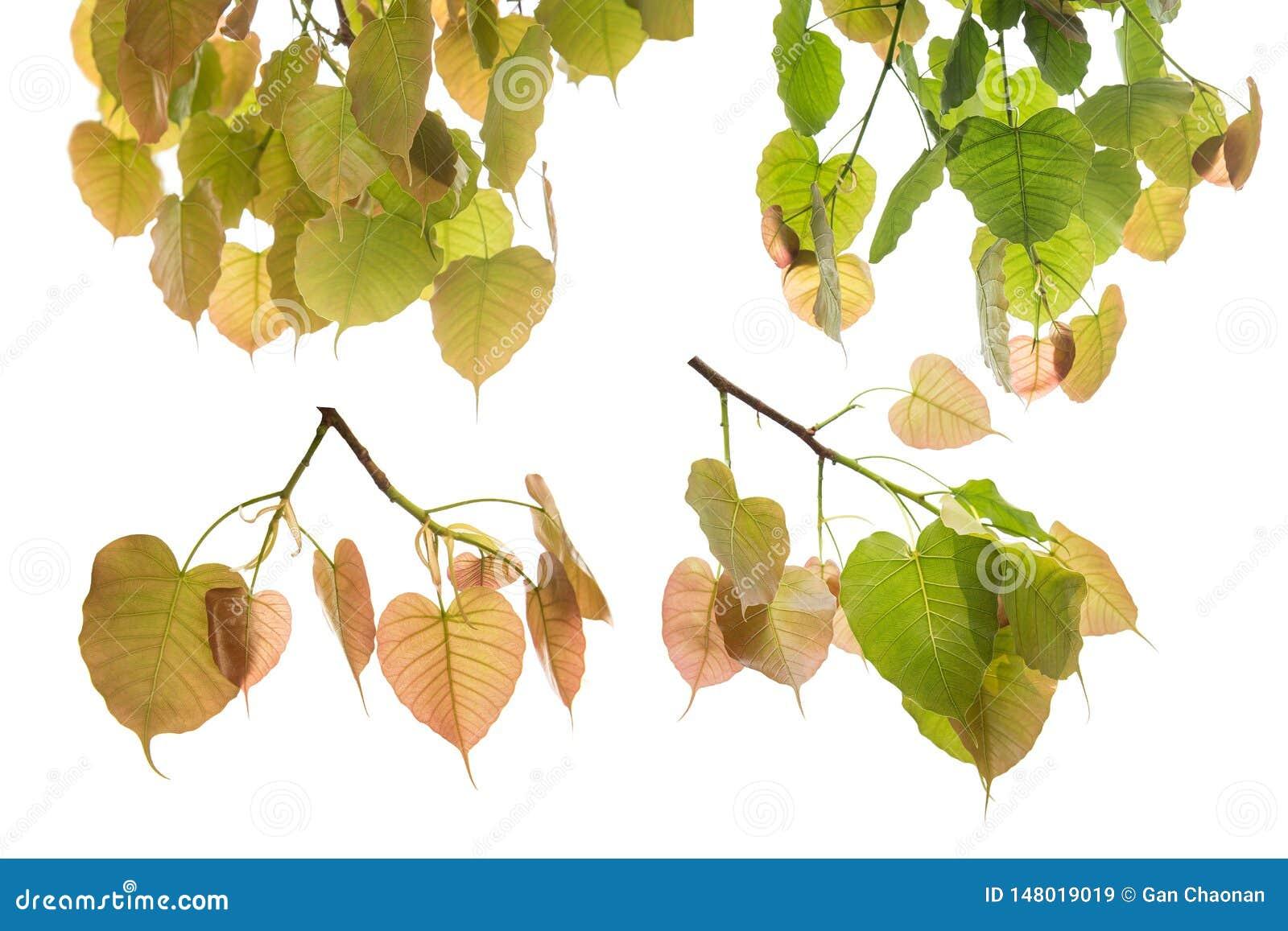 Sammlung von Bodhi-Blättern oder von Peepal-Blatt vom Bodhi-Baum