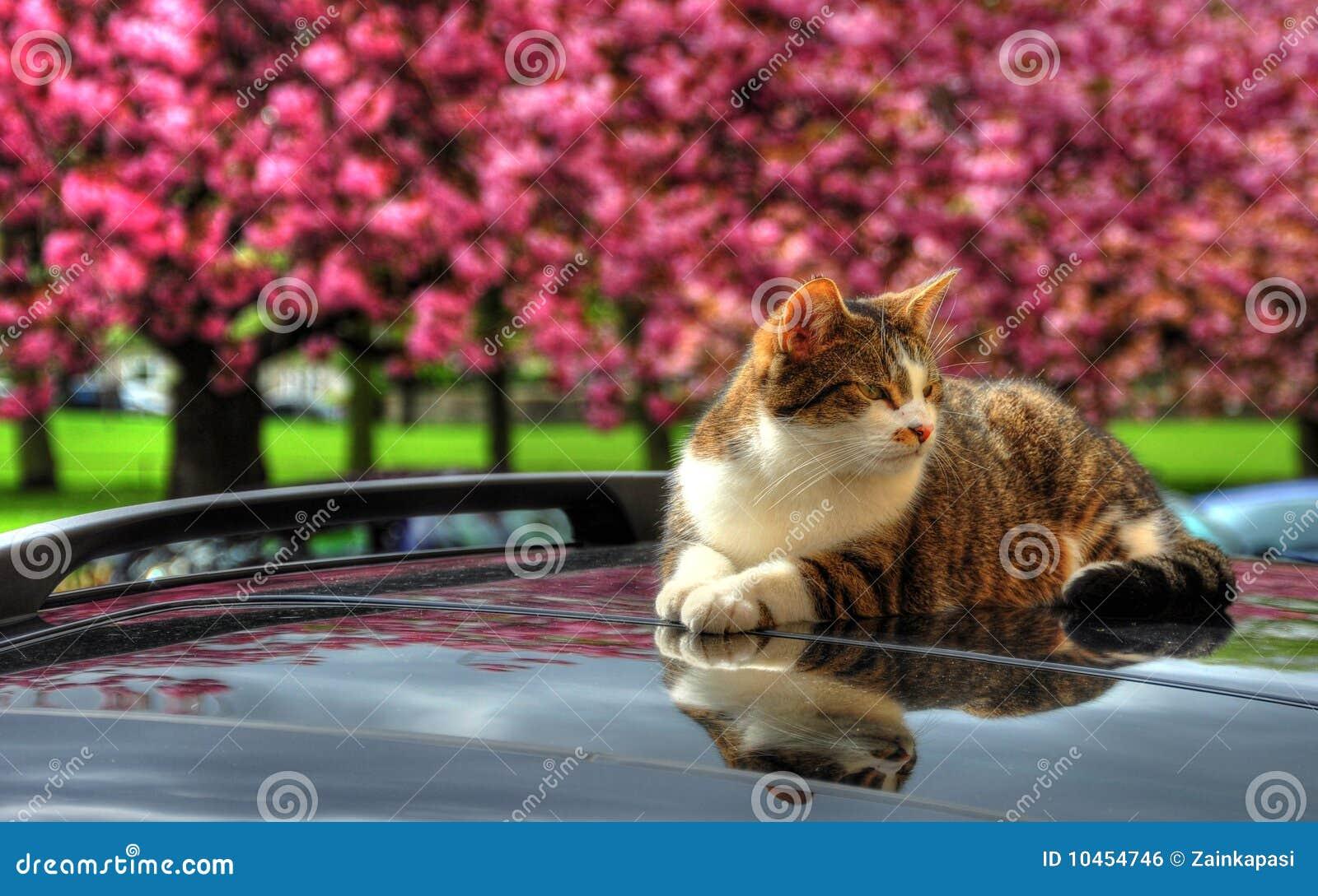 Samochodowego kota gorący dach