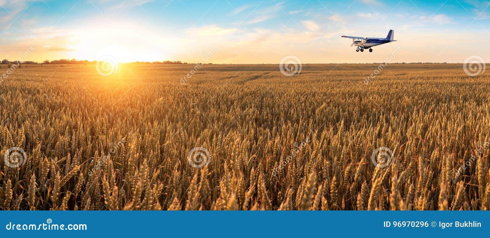 Samolotowy latanie nad pszeniczny pole złoty niebieskie niebo z malowniczymi chmurami i Lato piękny krajobraz