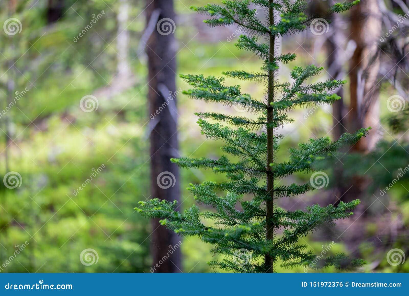 Samotna sosna Stoi Po prostu w lesie Skalistej góry park narodowy
