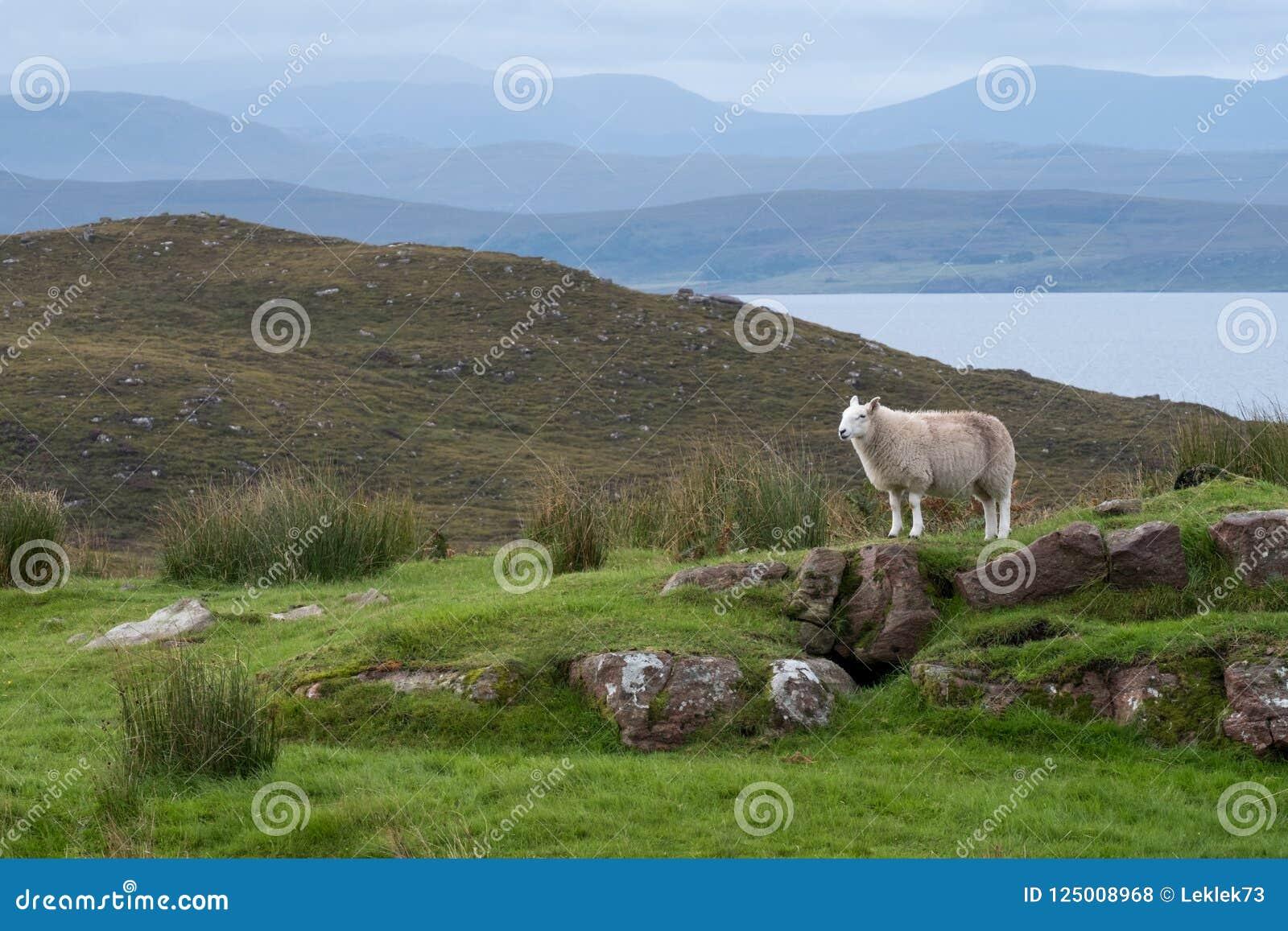 Samotni cakli stojaki na skalistym wychodzie w wsi Szkoccy średniogórza, północ Ullapool, w północno zachodni Szkocja