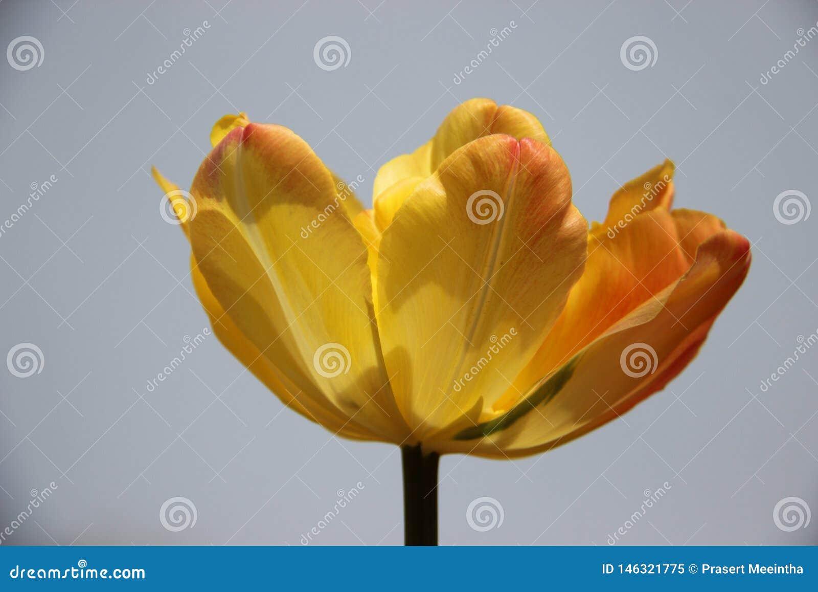 Samotnie Pączkować jeden Kolorowych tulipany Z Mrocznym niebem