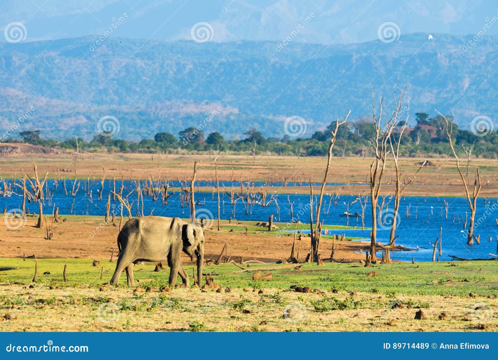 Samotny azjatykci słoń