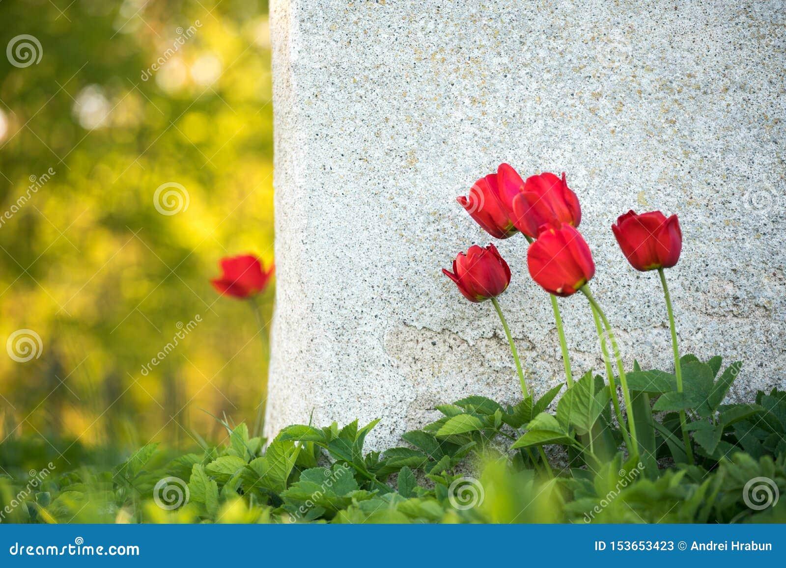 Samotny czerwony tulipan stoi samotnie za ścianą z zieloną trawą
