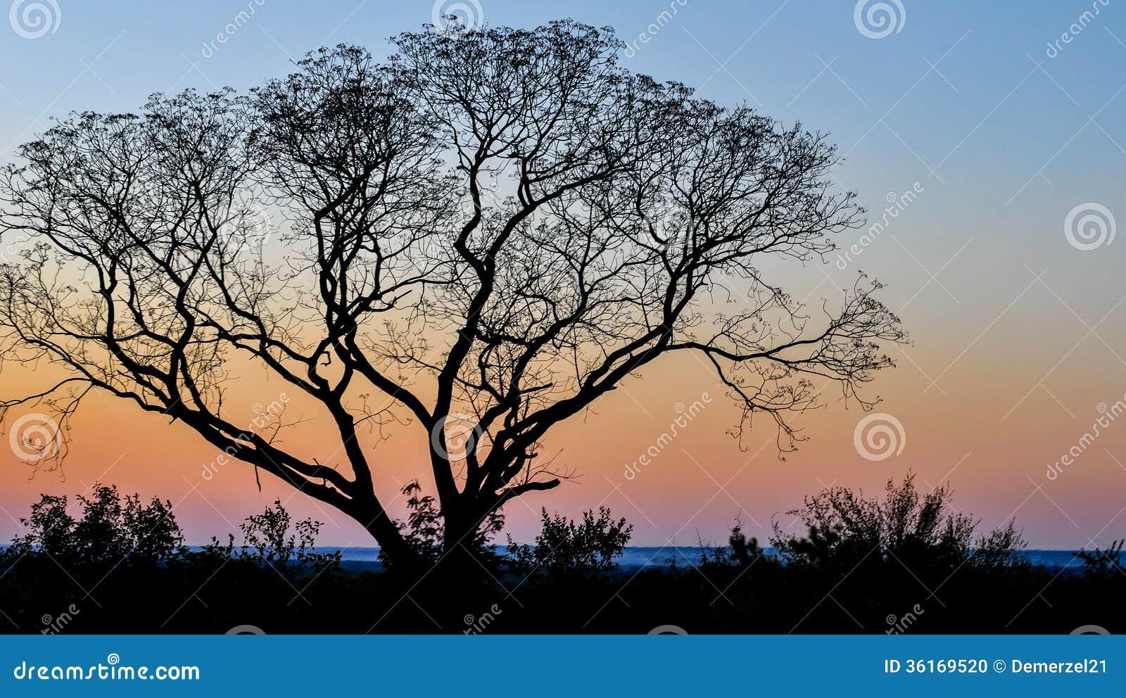 Samotny drzewo przeciw zmierzchowi w Livingstone, zambiowie