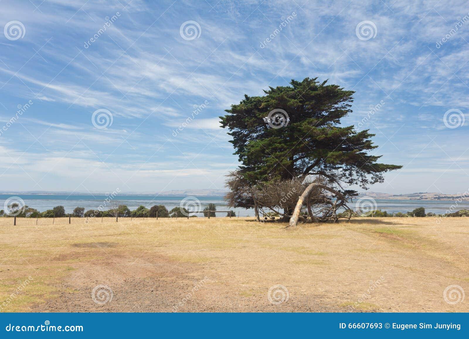 Samotny drzewo w Philip wyspie
