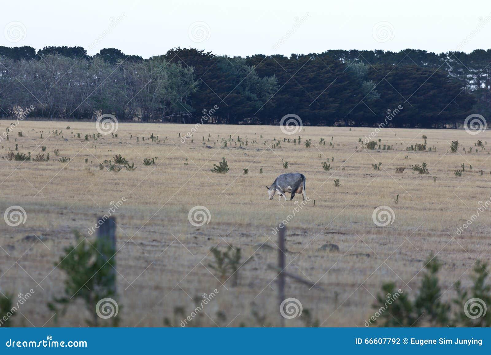 Samotny krowy pasanie w australijczyka gospodarstwie rolnym