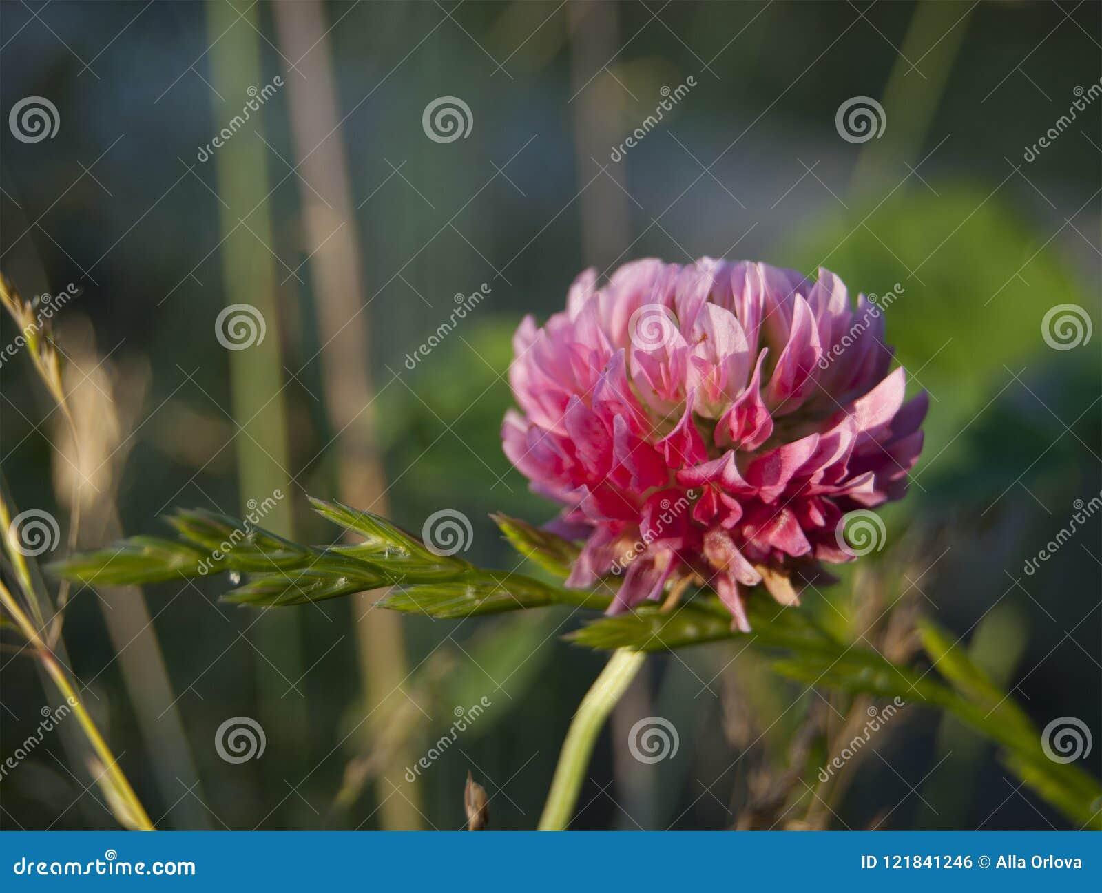Samotny kwiat różowa koniczyna