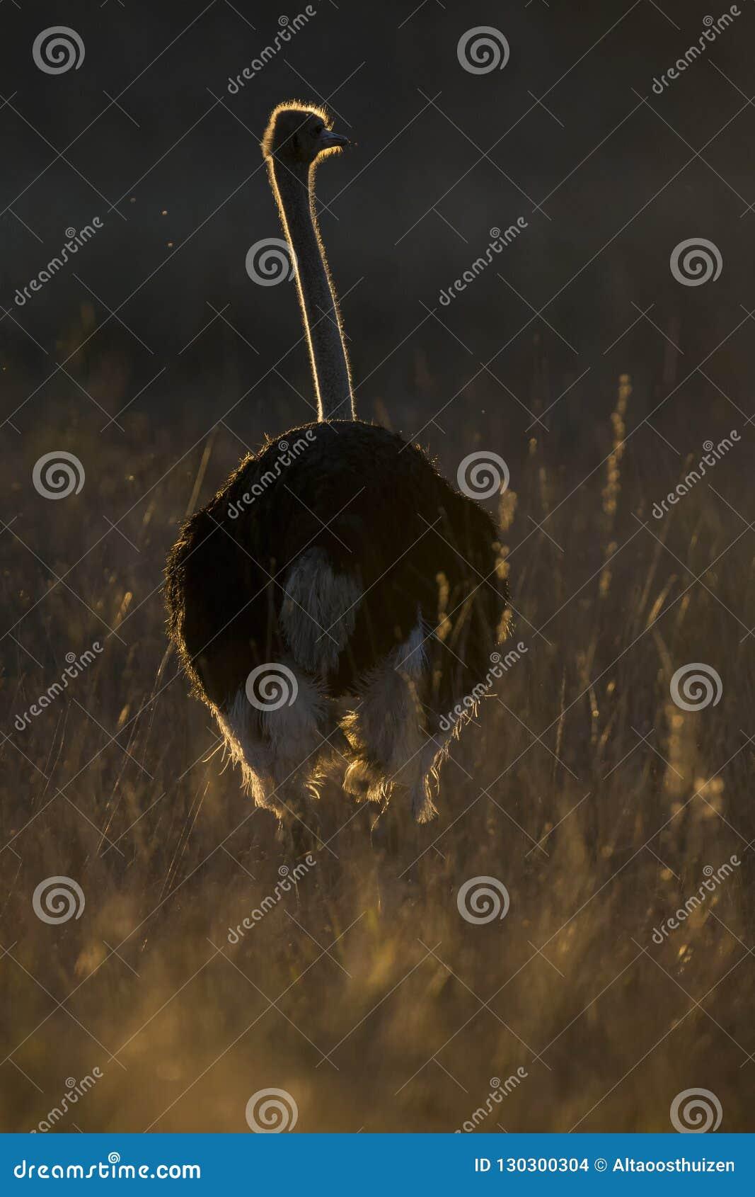 Samotny męski struś przy zmierzchem z obręcza oświetleniem w trawie