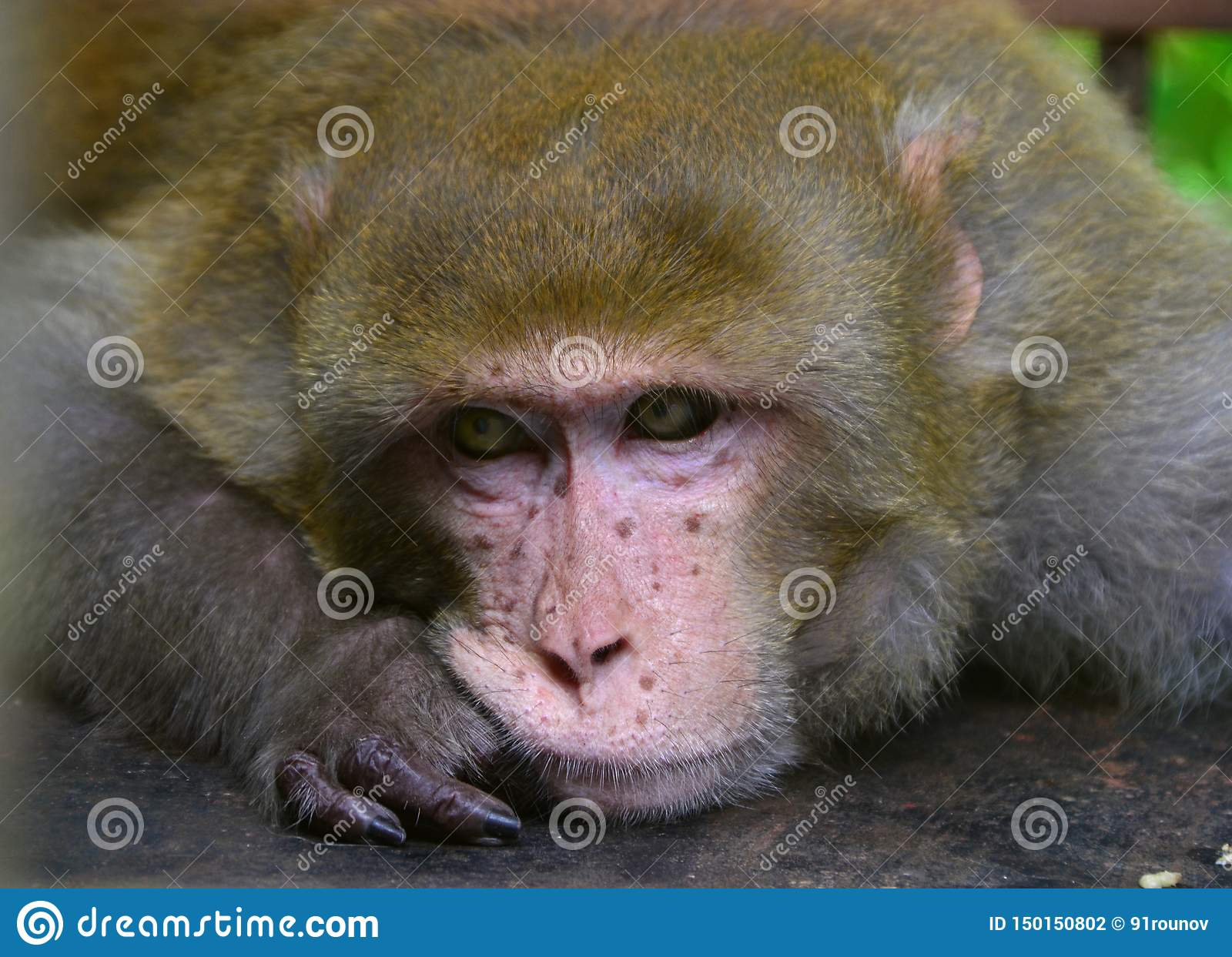 Samotny makak małpy portret