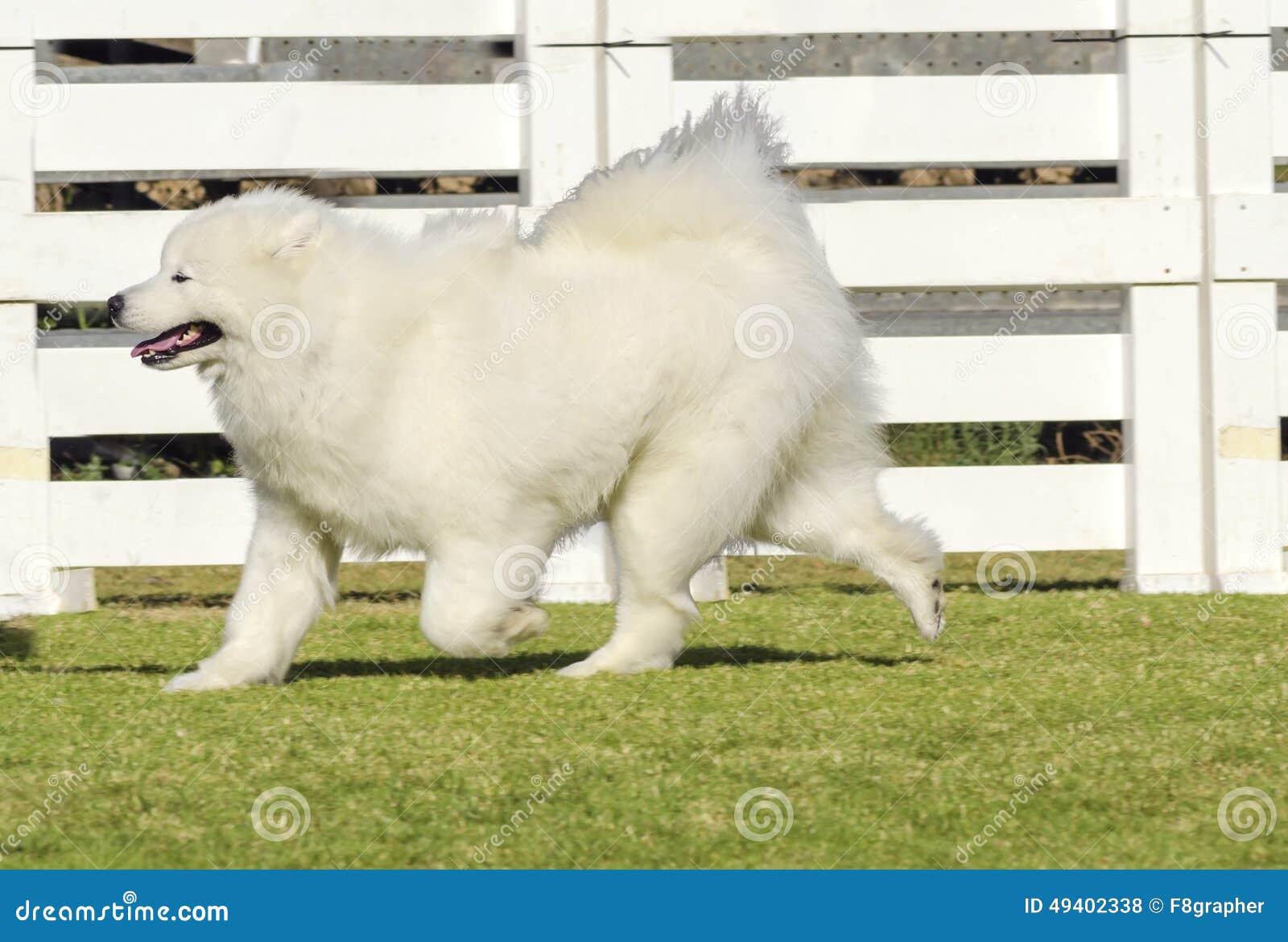 Download Samoyed stockfoto. Bild von domestiziert, gesund, warnung - 49402338