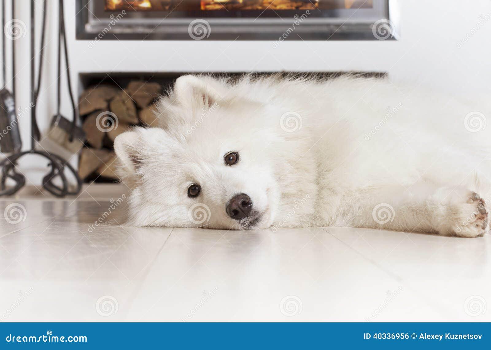 Samoyed Dog At Home Stock Photo Image Of Samoyed Purebred 40336956