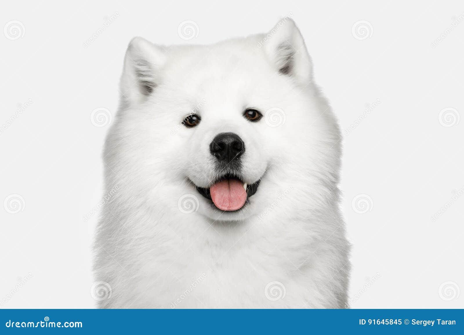 Samoyed Dog Isolated On White Background Stock Image Image Of