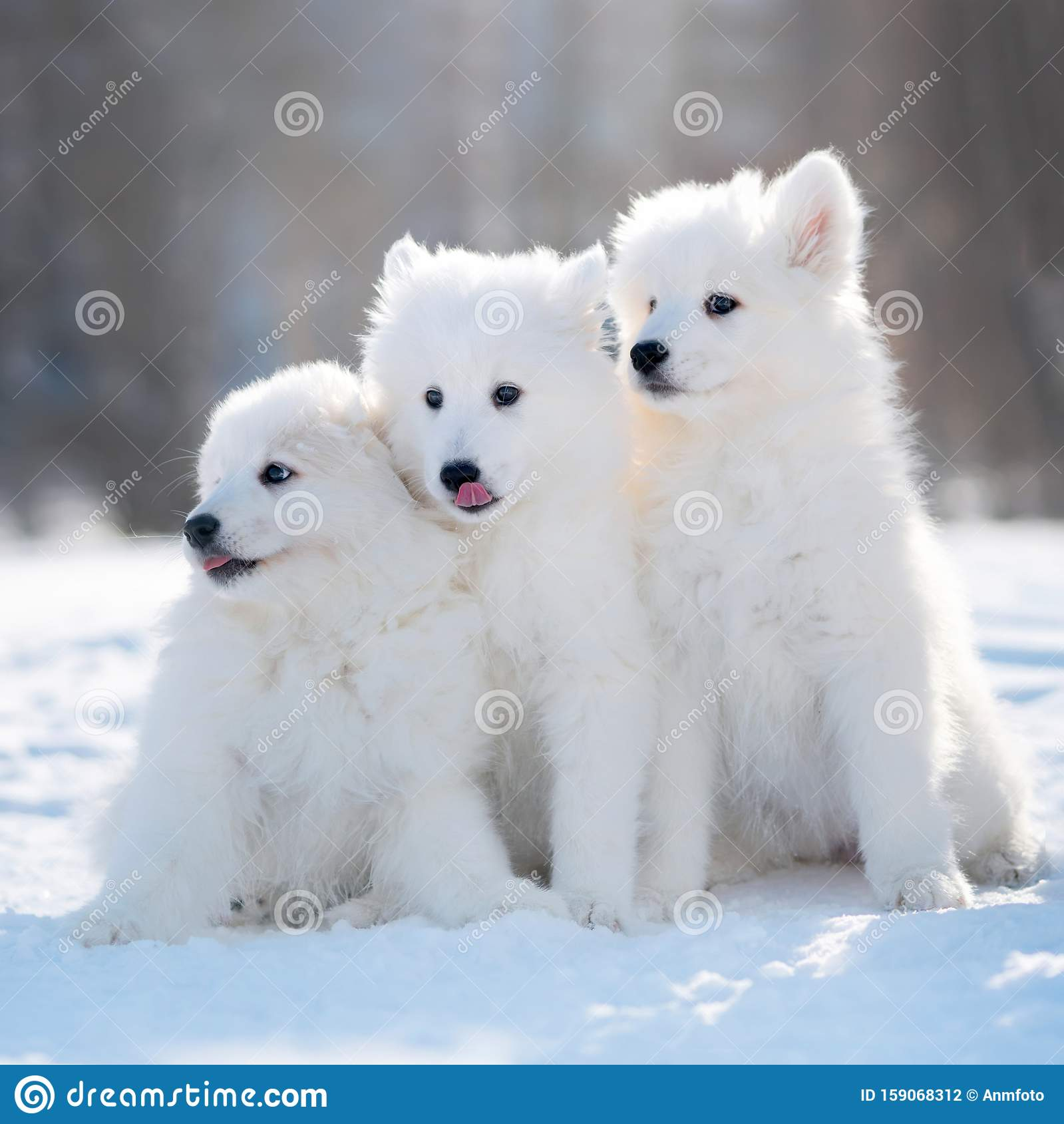 Samoyed Dog Puppies In Winter Stock Photo Image Of Funny Baby 159068312