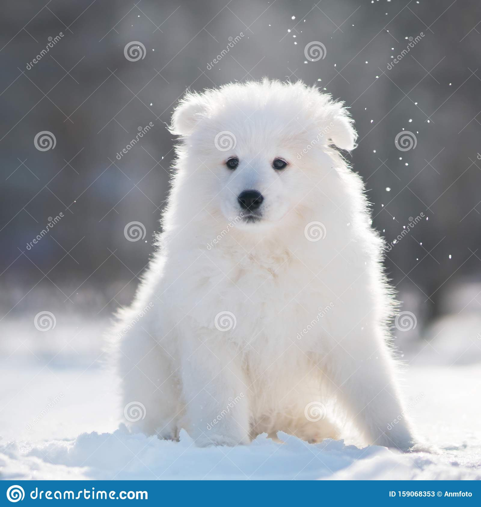 Samoyed Dog Puppy In Winter Stock Image Image Of Samoyed Baby 159068353