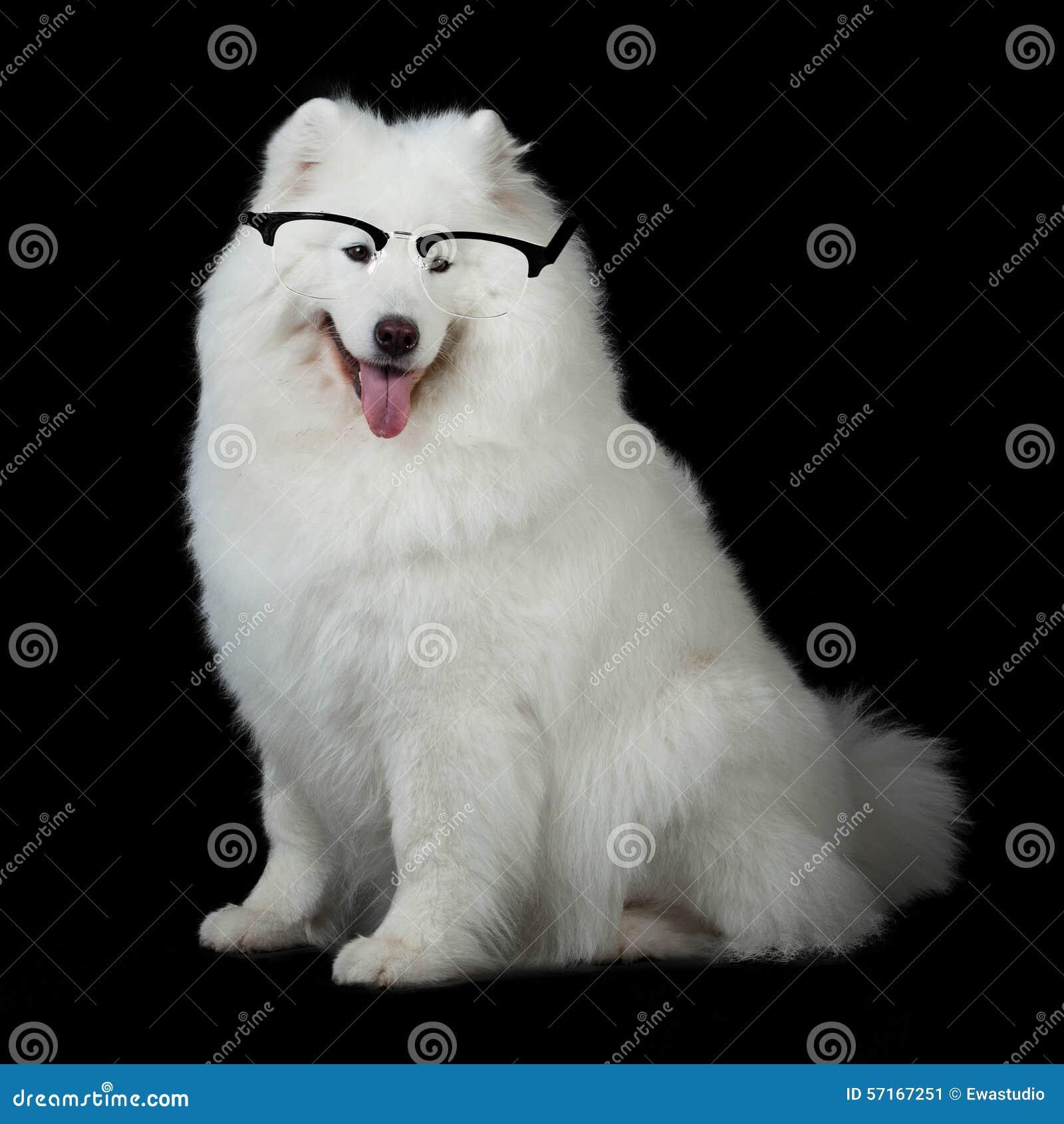 samoyed dog wiht glasses stock photo image 57167251