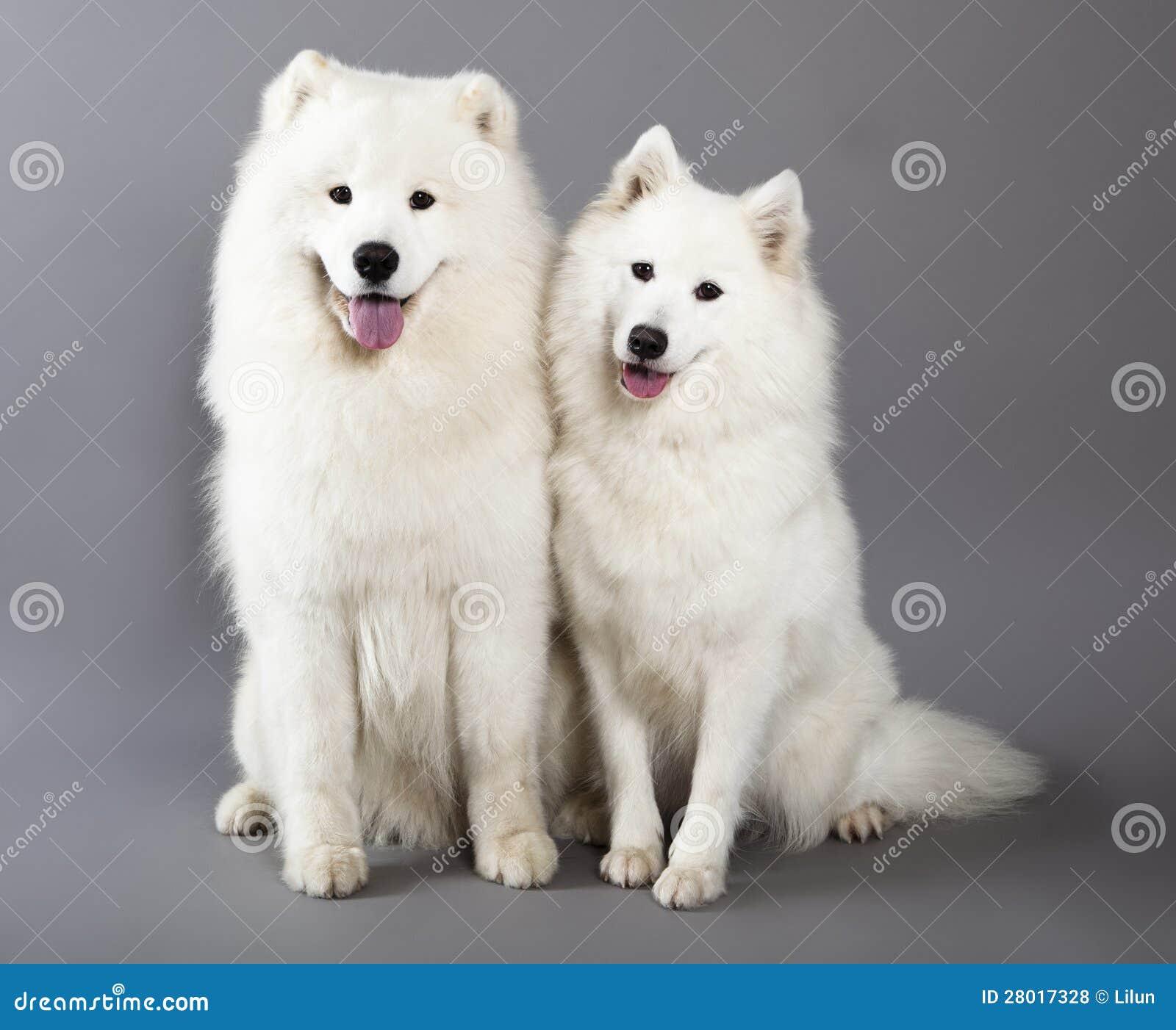 samoyed dogs stock photo image of biting cute collar