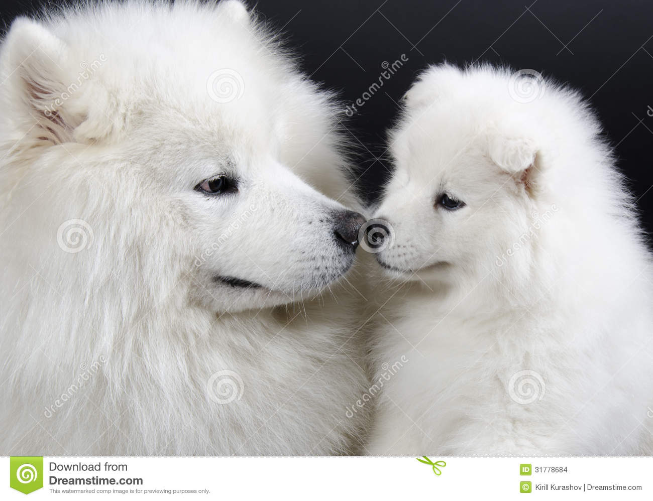 Two Samoyed dogs (isolated on a black background).