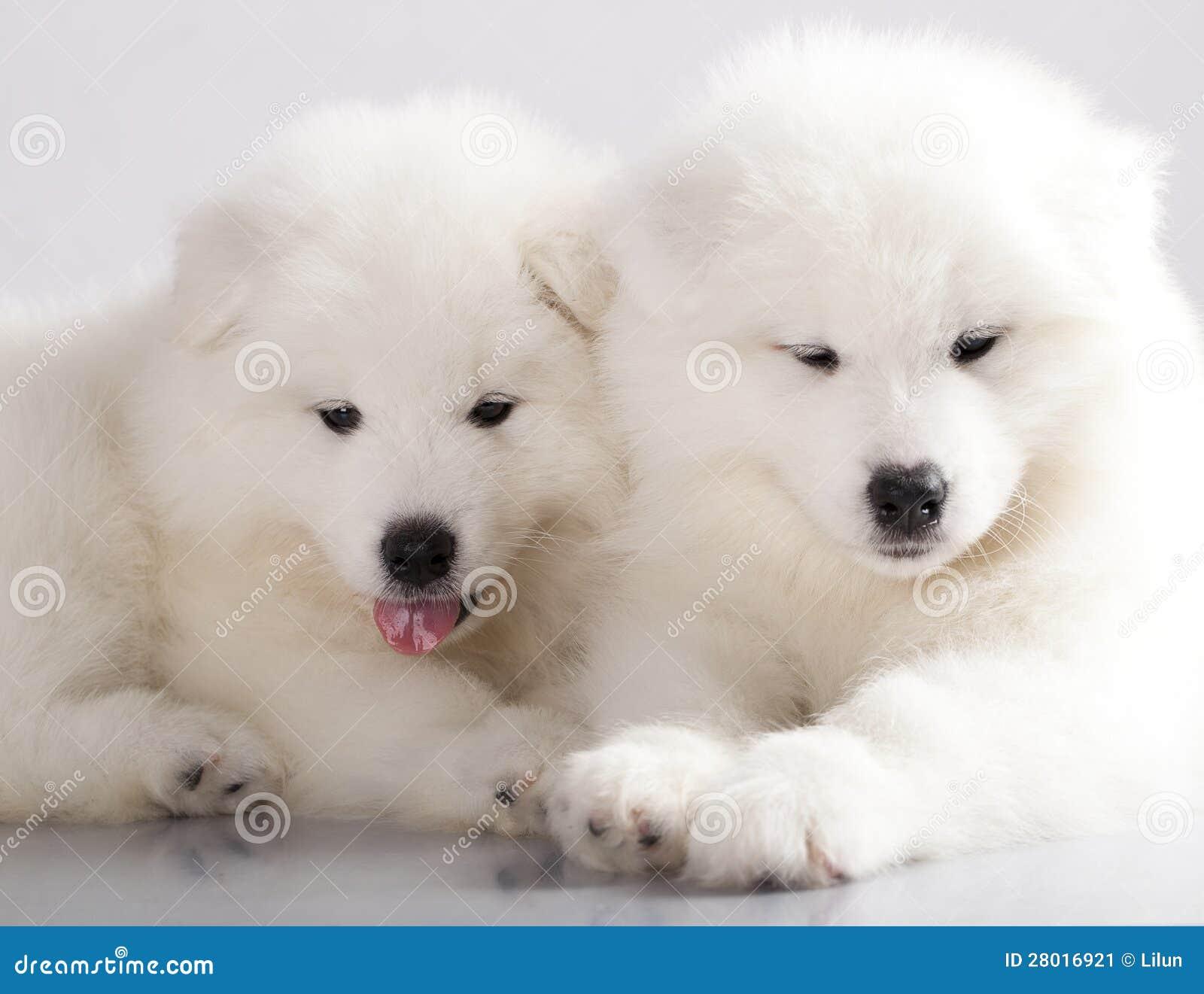 samoyed puppy stock image image 28016921