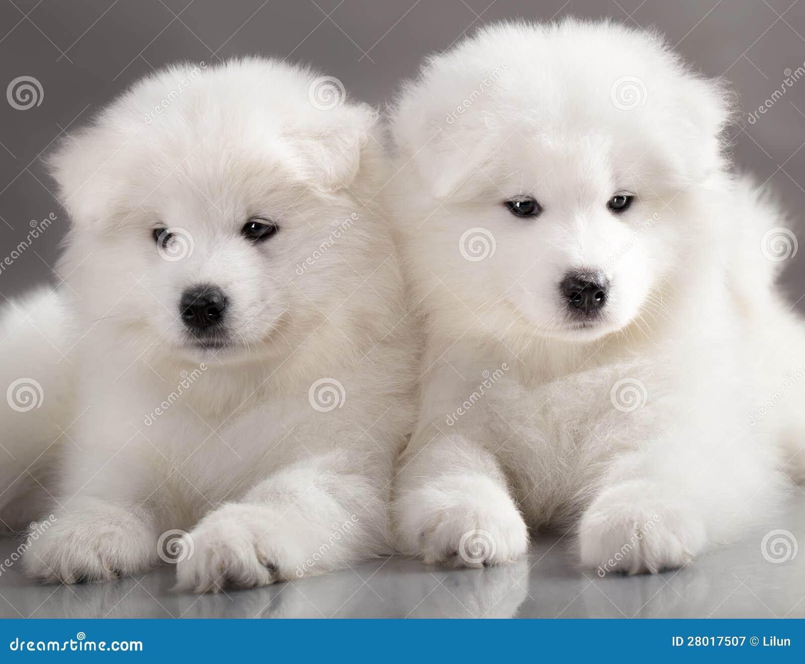 samoyed puppy royalty free stock photography image 28017507