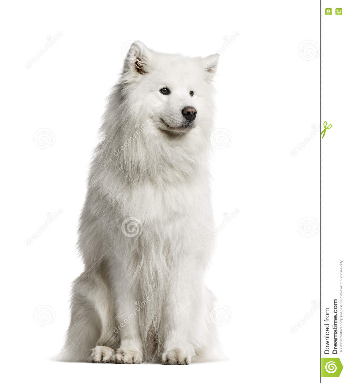 Samoyed, 6 years old, isolated on white
