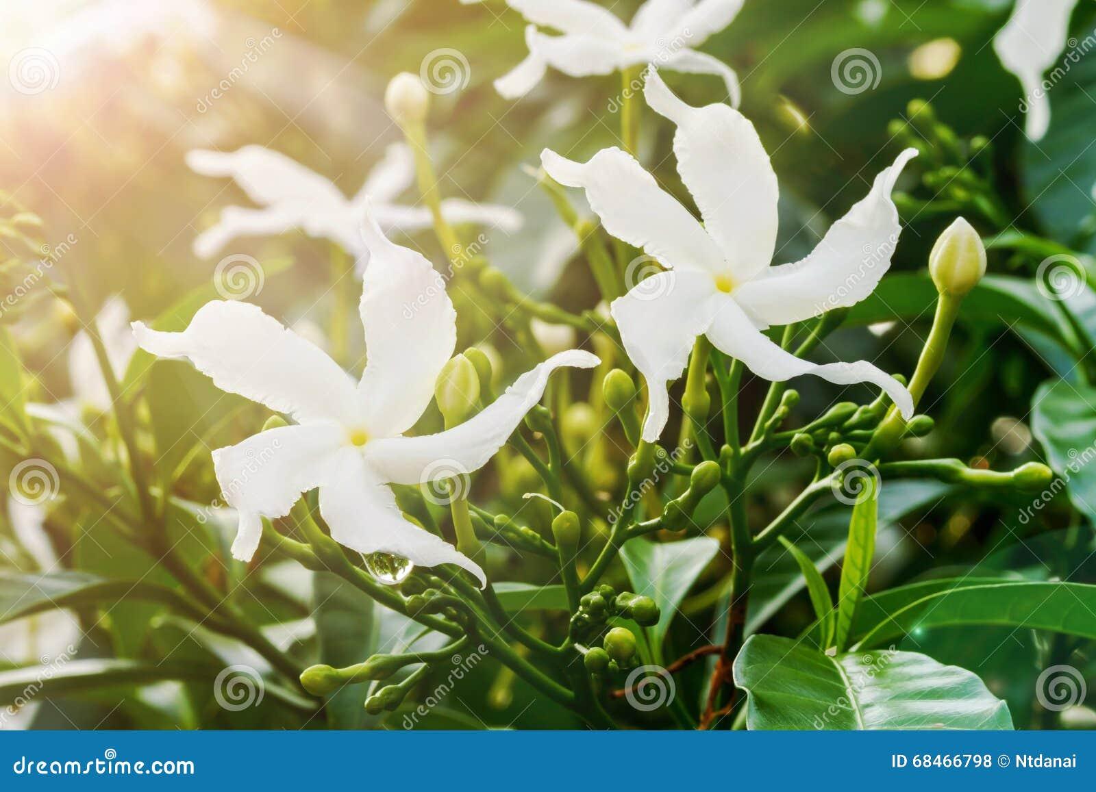 Sampaguita Jasmine Flowers Stock Photo Image Of Tree 68466798