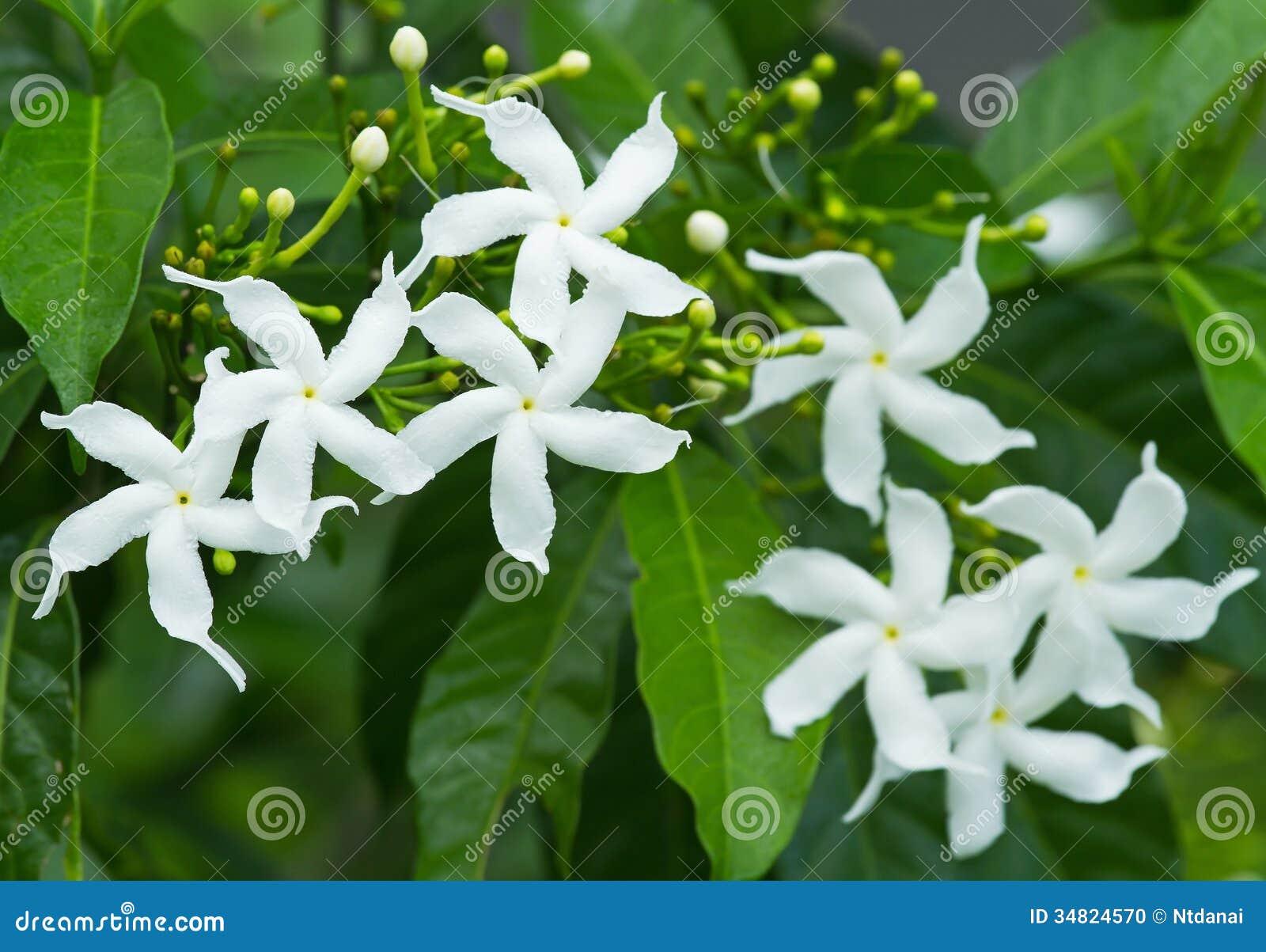 Sampaguita Jasmine Stock Photo Image Of Flower Growth 34824570