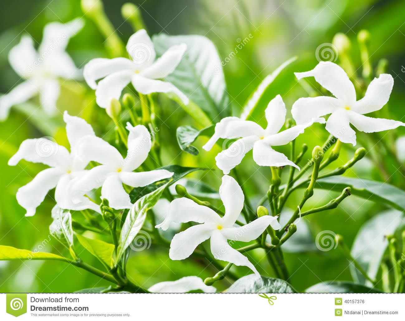Sampaguita Flower Stock Photos, Images, & Pictures - 105 Images