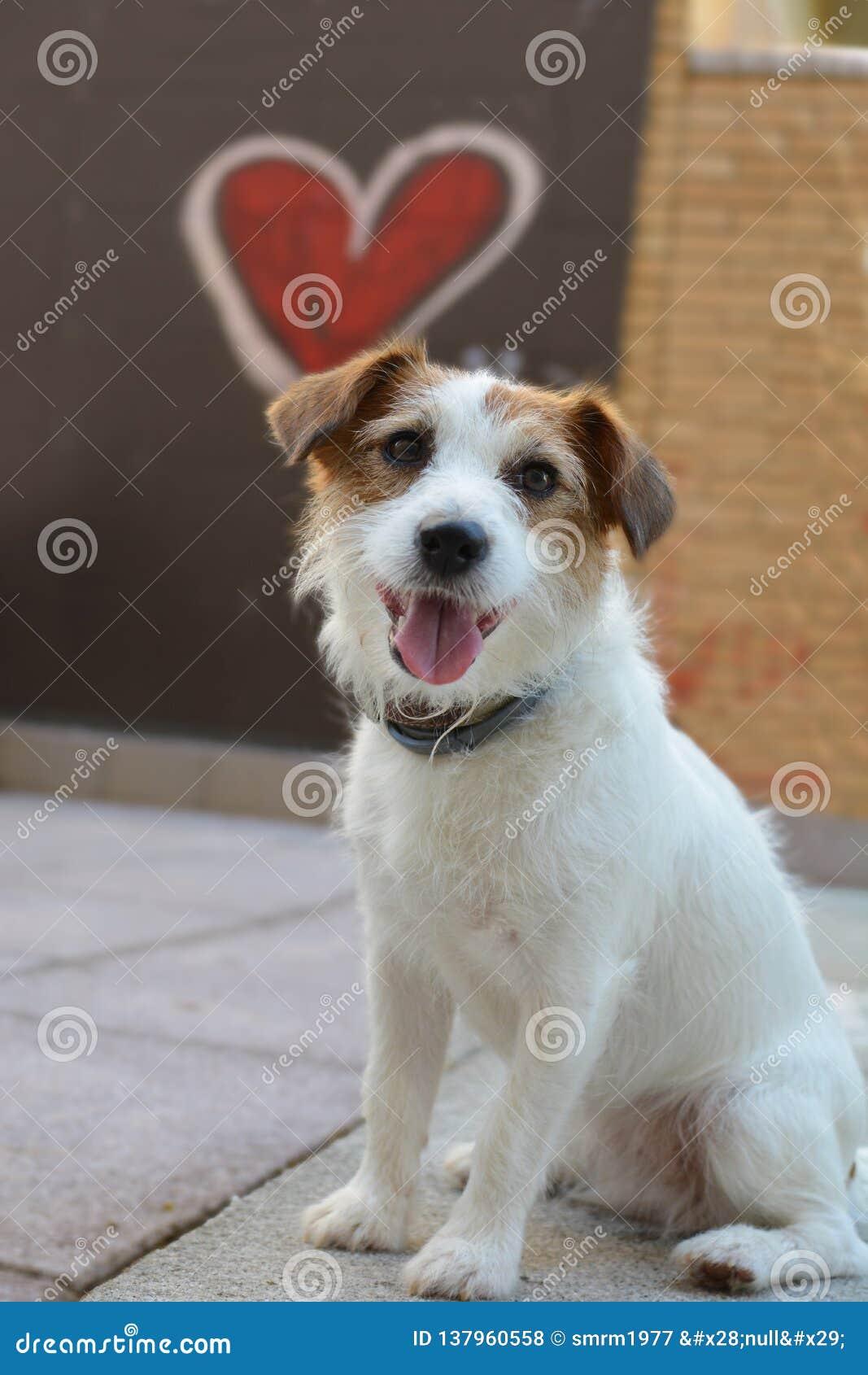 SAN华伦泰爱狗 有一心形的杰克罗素象背景