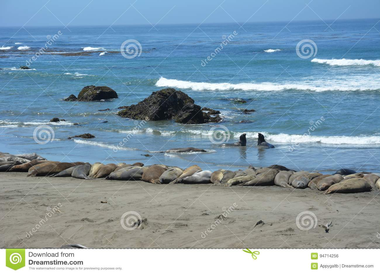 San Simeon Elephant Seals - giugno