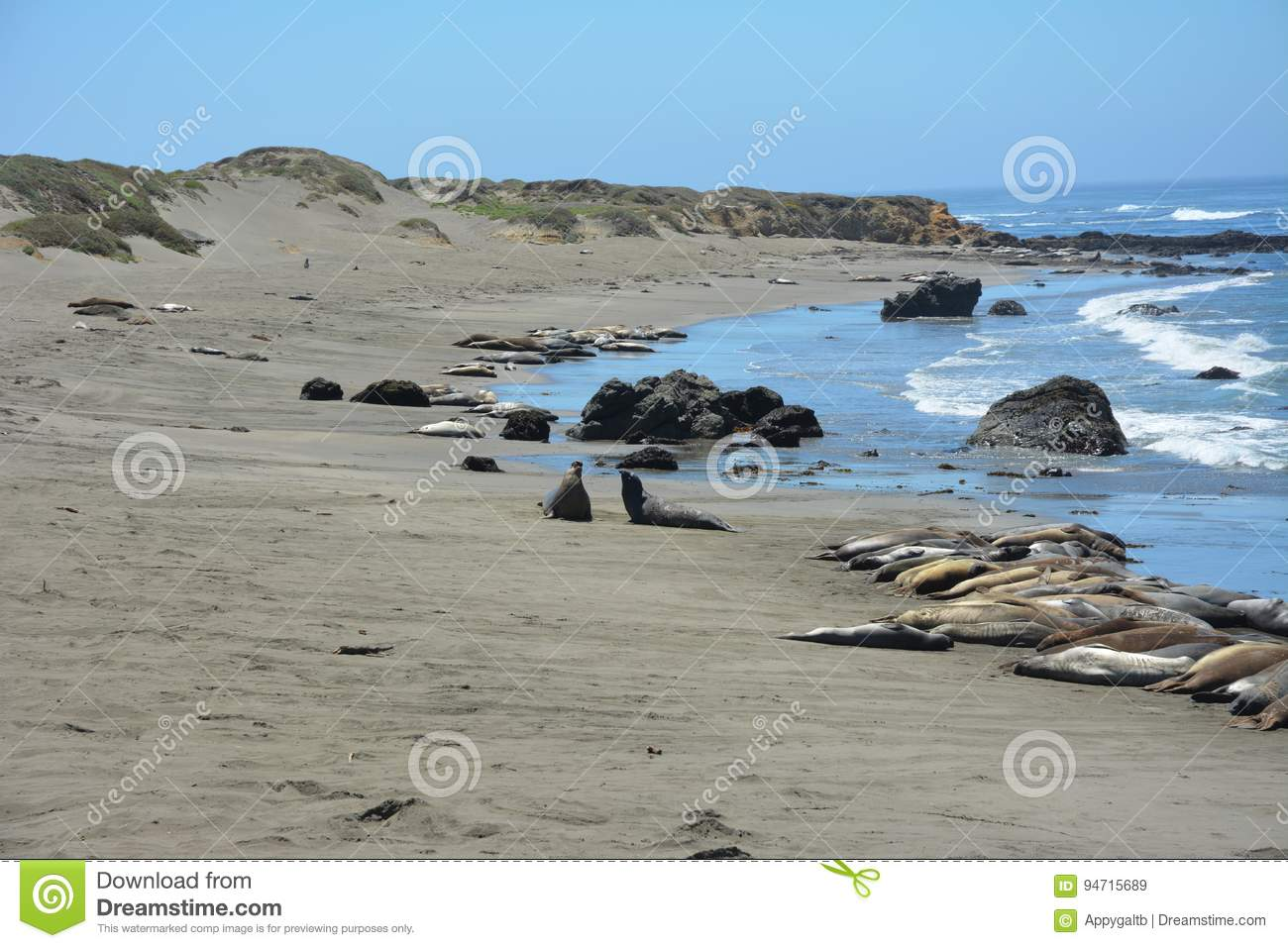 San Simeon Elephant Seals - June