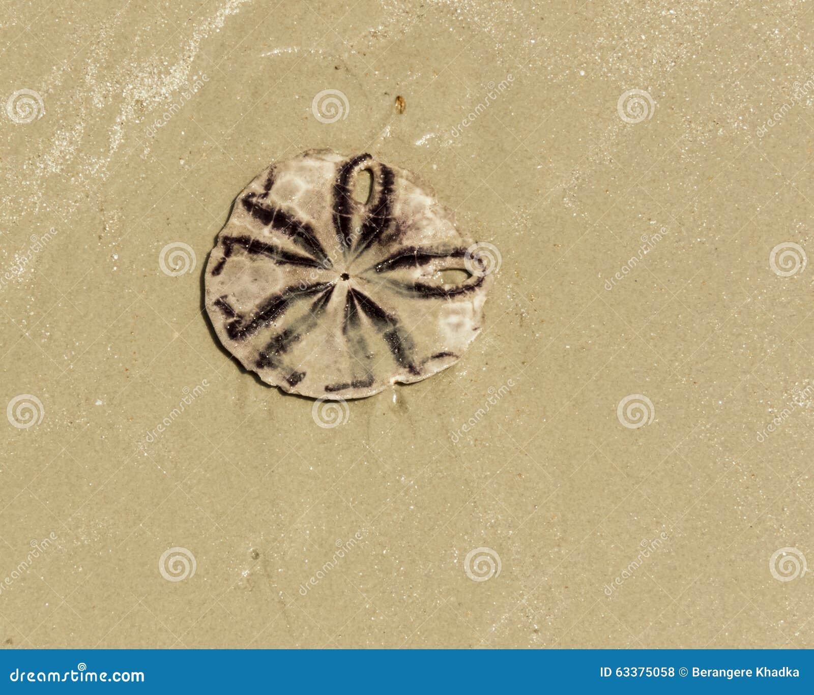 Sea cookie Sand Dollar
