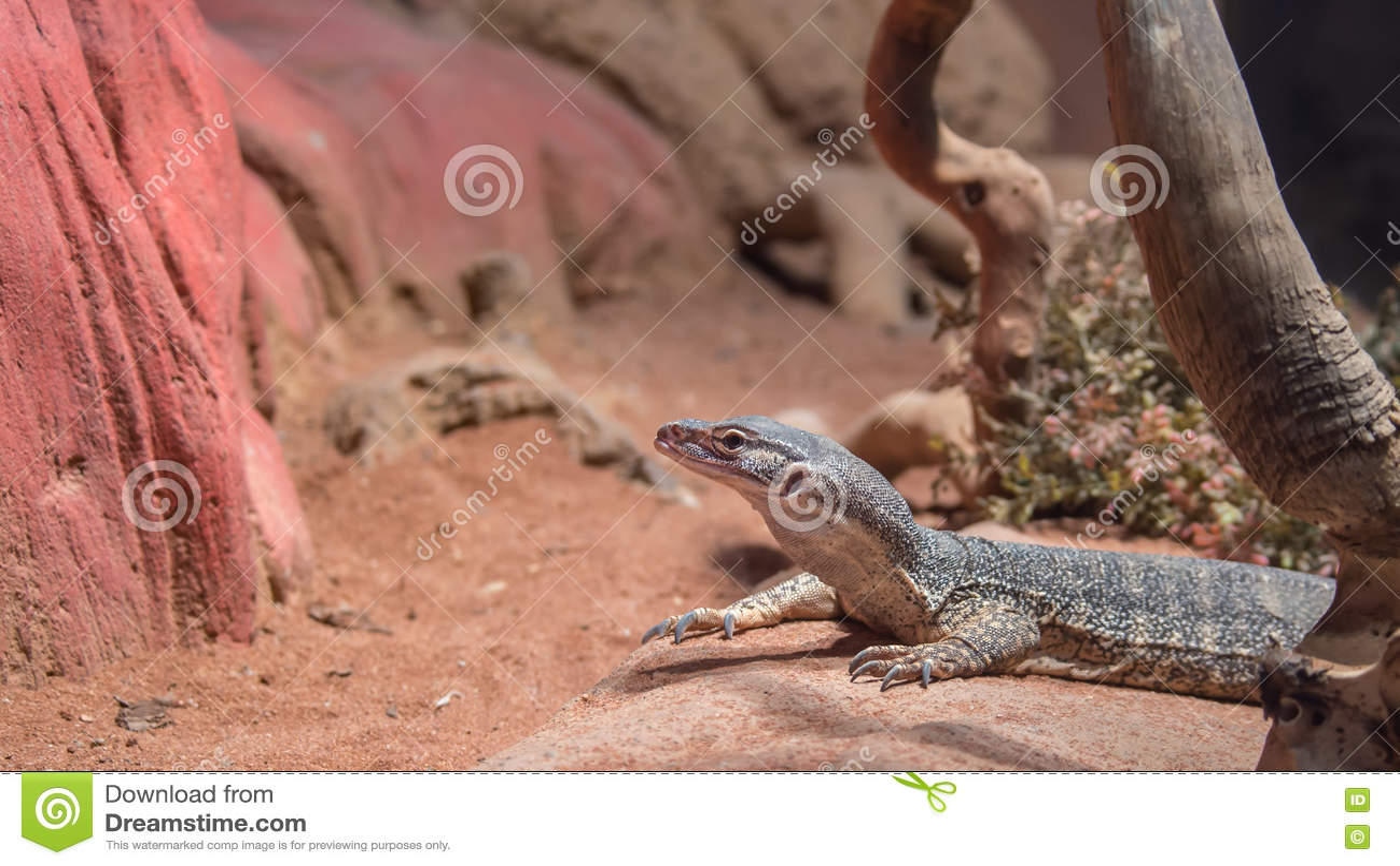 Sand Goanna Featherdale Wildlife Park Nsw Australia Stock Photo