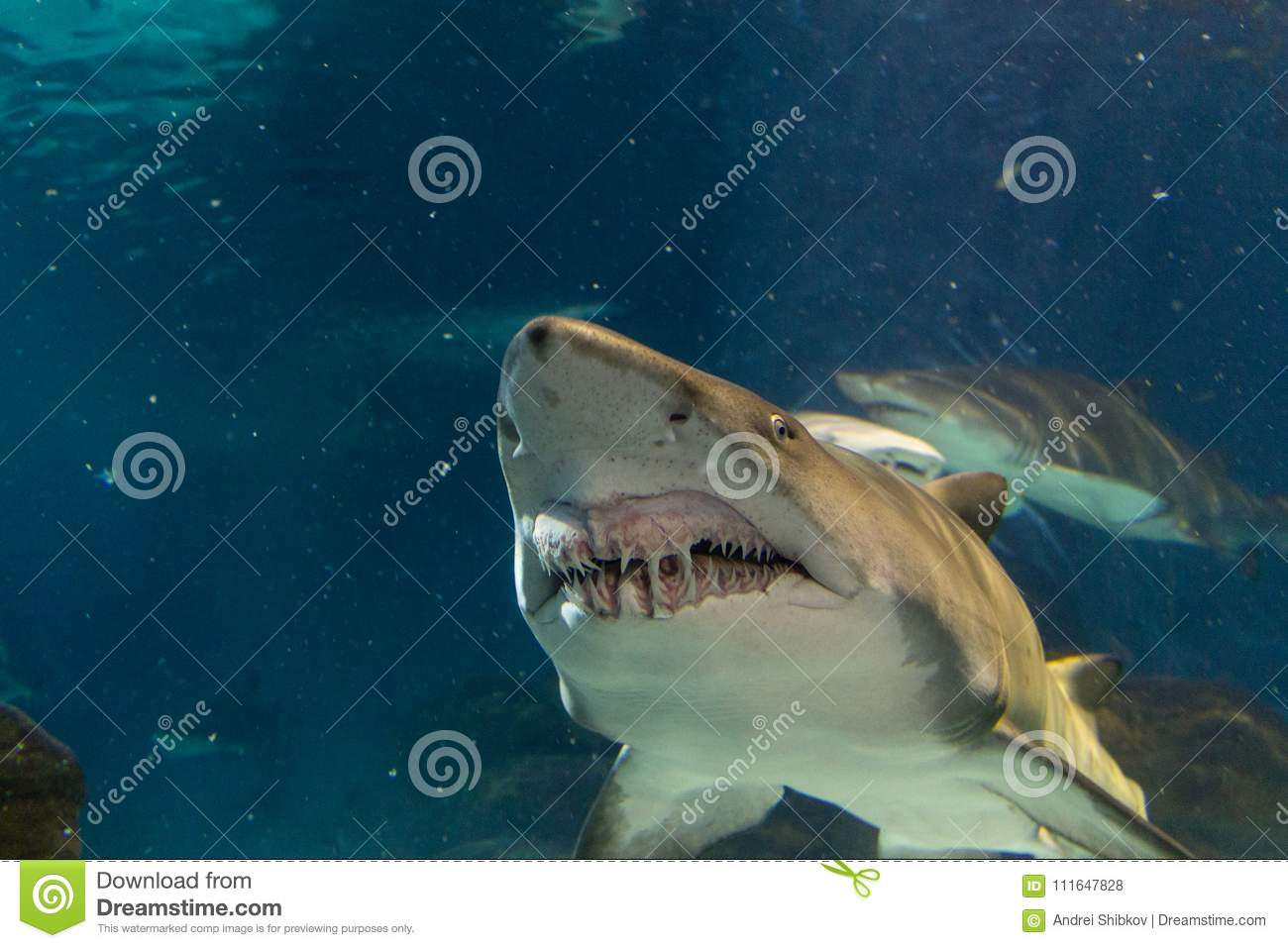 Big white shark from front view