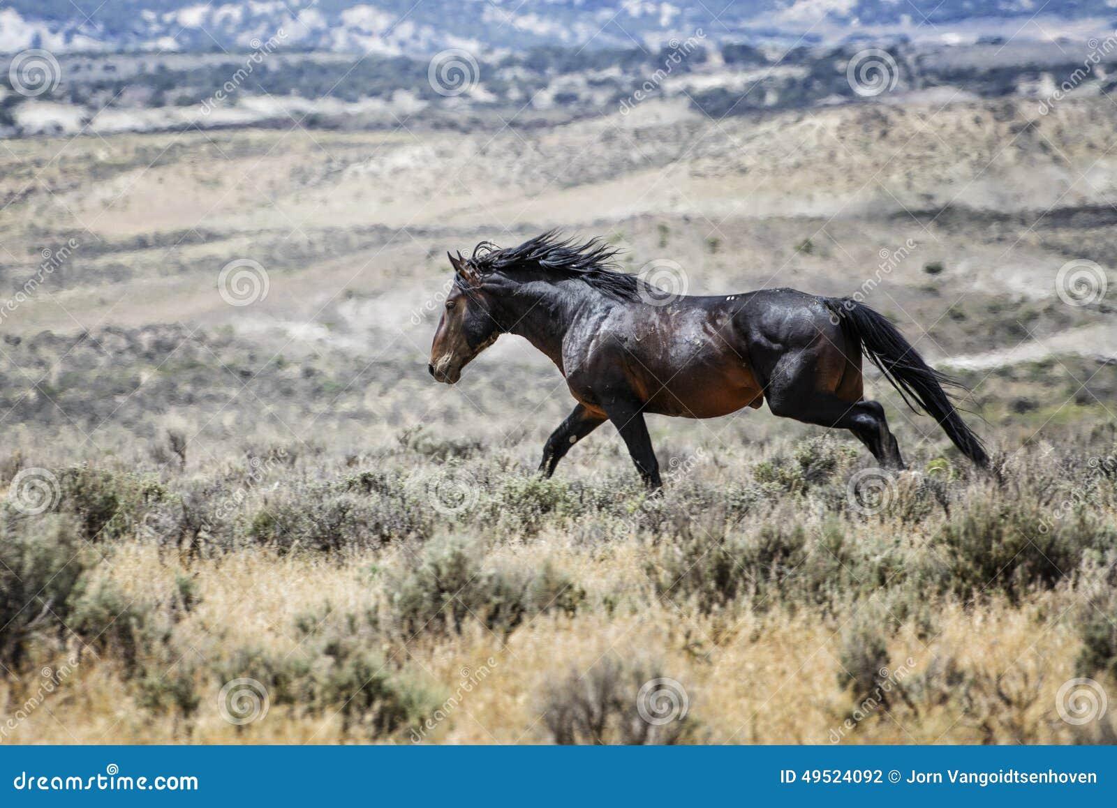 Sand Wash Basin Wild Horse Running Stock Photo Image Of Sand Basin 49524092