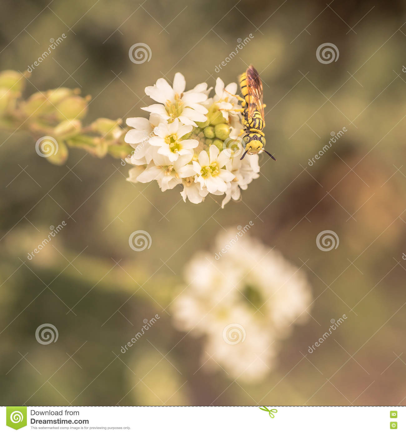 Sand Wasp Sitting on a White Flower