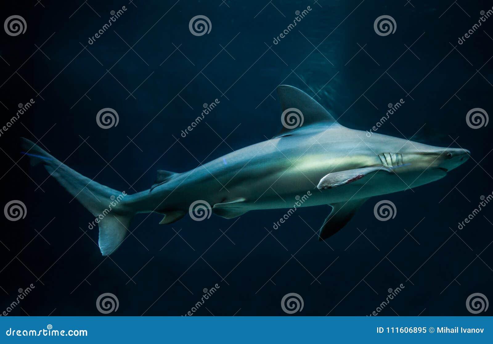 Sandbank-Haifisch